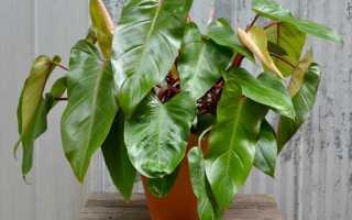 Филодендрон краснеющий — яркая внешность при скромных запросах