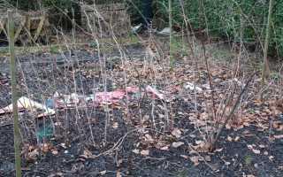 Зачем садоводы оставляют в зиму всю поросль малины