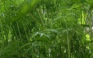 Выращивание укропа в домашних условиях прямо на подоконнике