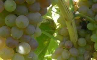 Посадка винограда в траншеи и в насыпные гряды — подробная инструкция