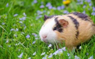 Морские свинки — всё о содержании и разведении