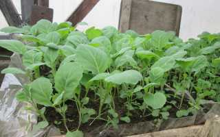 Когда сажать брокколи и цветную капусту на рассаду, сроки посева в 2020 году