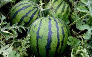 Болезни и вредители арбуза и борьба с ними, а также обработка растений народными средствами