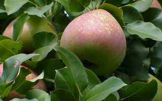 Сорт груши Мраморная, описание, характеристика и отзывы, особенности выращивания