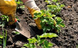 Посадка клубники, когда, как правильно и на каком расстоянии сажать землянику, чтобы получить хороший урожай