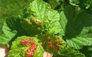 Красные пятна на листьях смородины: причины появления, что делать