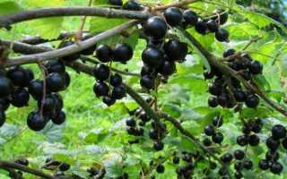 Как омолодить чёрную смородину