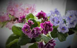 Почему нельзя выращивать дома фиалки
