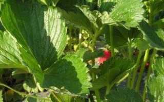 Выращивание клубники в теплице или закрытом грунте