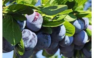 Сорт сливы Блюфри, описание, характеристика и отзывы, особенности выращивания