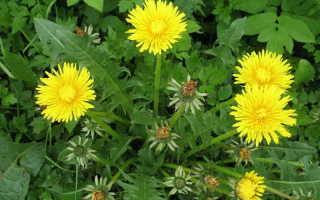 Полезные сорняки в огороде: как использовать чистотел, одуванчик, крапиву и другие травы