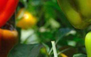 Выращивание перца в теплице, открытом грунте и домашних условиях