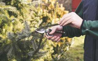Формирование хвойных крупномеров — правильная обрезка