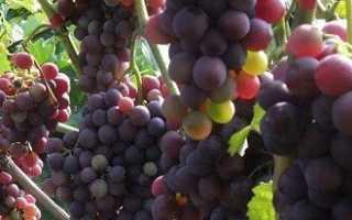 Уход за виноградом летом — обрезка и другие процедуры