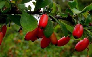 Посадка барбариса осенью: как посадить куст правильно