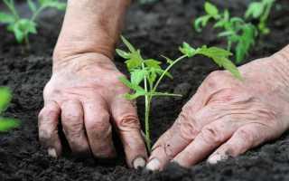 Выращивание томатов по методу Терехиных: основные правила