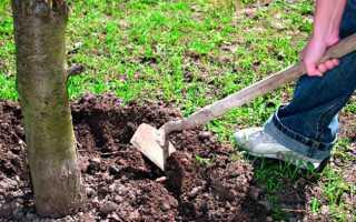 Чем подкормить вишню весной для увеличения урожая, удобрения