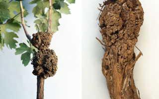 Бактериальный рак винограда — лечение, описание