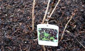 Когда лучше пересаживать смородину — весной или осенью?