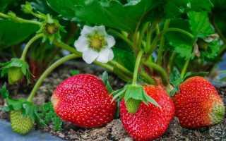 Уход за клубникой после плодоношения и сбора урожая — чем подкормить и что еще нужно делать