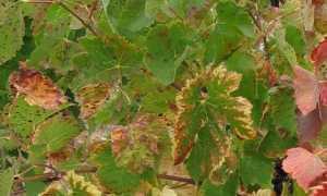 Сохнут листья у винограда: причины, что делать