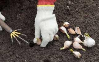 Благоприятные дни для посадки чеснока в 2017 году по лунному календарю