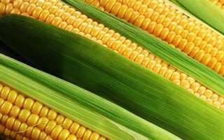 Кукуруза: характеристика, описание, биологические особенности