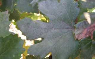 Белый налет на винограде: почему появлется, что делать