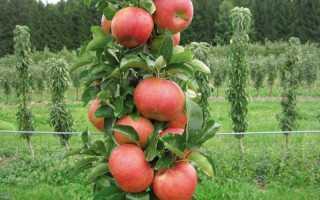 Яблоня колоновидная: сорта для Подмосковья