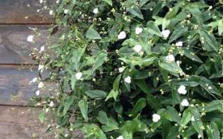 Традесканция гибазис — «белая фата» для цветников, контейнеров и подоконников