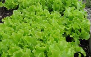 Листья салата горчат: причины, что делать