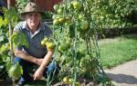 Выращивание томатов по методу Шадрина: основные правила