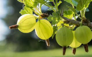 Уход за крыжовником после сбора урожая — что делать и чем подкормить в июле, августе и осенью