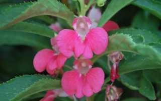 Бальзамин садовый: описание, посадка, выращивание из семян, фото