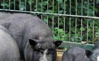 Вьетнамские свиньи — выращивание и уход