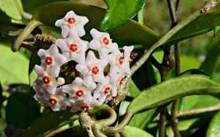 Цветок хойя: почему нельзя растить дома