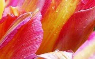 Каких цветов бывают тюльпаны — красные, желтые, белые, розовые, фиолетовые и даже голубые