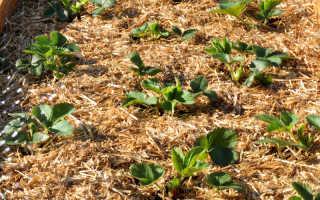 Как подготовить клубнику к зиме на грядке: пошаговое руководство