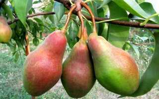 Сорт груши Талгарская красавица, описание, характеристика и отзывы, особенности выращивания