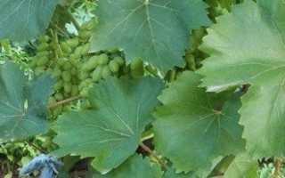 Подрезка винограда для начинающих в мельчайших подробностях