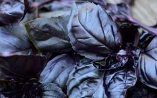 Чем полезен базилик фиолетовый для нашего здоровья + Видео