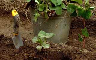После чего можно сажать клубнику осенью: предшествующие посадке культуры