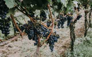 Семь сортов винограда, из ягод которых получается изюм прямо на лозе