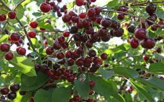 Подкормка вишни весной и осенью: как и чем удобрять, в том числе после перенесенных заболеваний