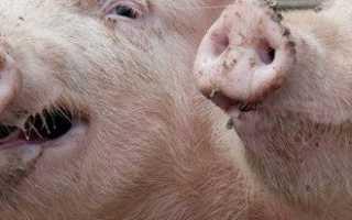 Наиболее частные болезни свиней (аскаридоз, пастереллез, саркоптоз, рожа), их лечение и вакцинация