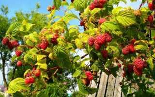 Как правильно поливать малину летом