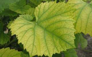 Желтеют листья у винограда: почему, что делать