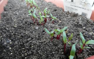 Посадка свеклы рассадой в открытый грунт и выращивание из семян: инструкции и сроки