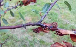 Как лечить болезнь монилиоз вишни весной: фото, сорта
