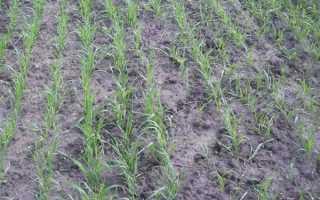 Посев яровой пшеницы: сроки, способы, уход за посевами